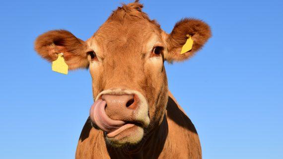 Cara Ternak Sapi Potong Dan Mengenal Jenis Sapi Ternak