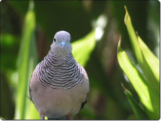 Cara Sukses Ternak Budidaya Burung Perkutut Bagi Pemula