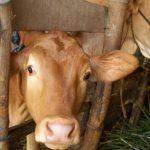 Untung Besar dari Usaha Ternak Sapi Potong