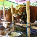 Cara Beternak Sapi Potong dan Penggemukan Sapi Tanpa Rumput