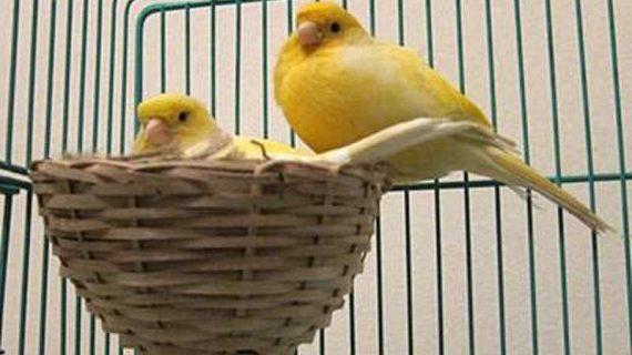 Cara Ternak Burung Kenari yang Benar bagi Pemula, Ulasan Lengkap!