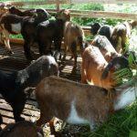 Ternak Kambing lengkap dari pemilihan bibit, perawatan sampai panen