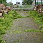 Penggemukan Cara Modern Pada Ternak Sapi