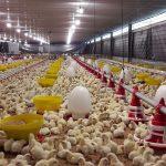 Cara Ternak Praktis Bagi Pemula Peternak Ayam pedaging (Broiler)