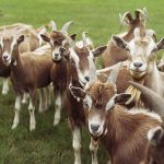 Cara Beternak Kambing yang Baik Agar Cepat Sukses