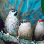 Cara Ternak Lovebird yang Benar dan Terbukti Menghasilkan