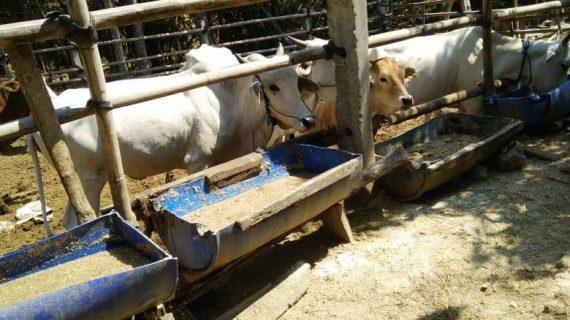 Penggemukan Sapi dengan Sistem Dry Lot Fattening