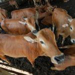 Pemanfaatan Fertility-Associated Antigen Sapi Jantan untuk Meningkatkan Kualitas Semen Beku Sapi