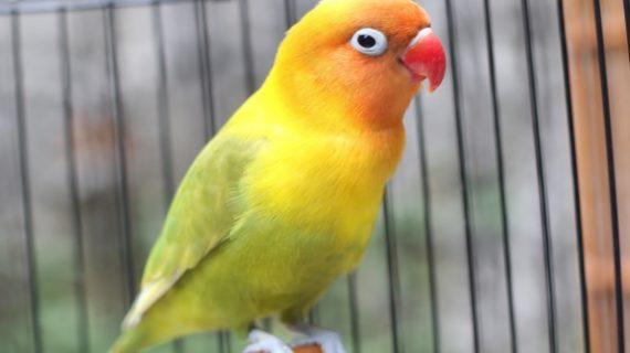 7 Cara Merawat Burung LoveBird biar Cepat Gacor dan Ngekek Panjang