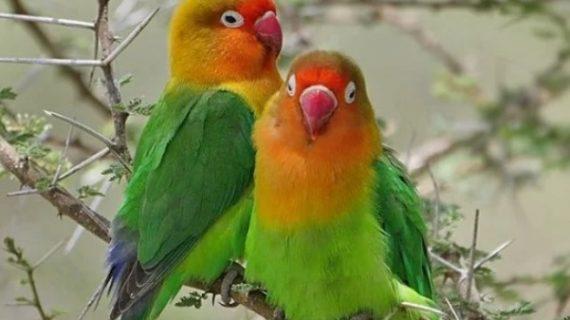 Cara Ternak Burung Lovebird yang Benar Untuk Pemula