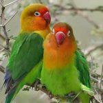 Cara menjodohkan burung Lovebird yg baik & efektif