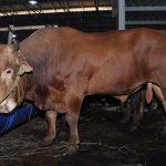 Tips Mendapatkan Bibit Ternak Sapi Potong Yang Baik