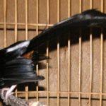 Beberapa Penyembab Burung Murai ngelowo / ngebatman