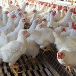 Tips Ternak Ayam Tanpa Bau dan Kotor