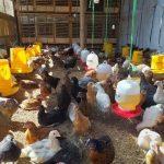 Mengatasi Pertumbuhan Ayam yang Tidak Seragam