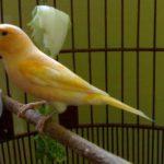 Cara Merawat Burung Kenari sehari hari dan Ketika Macet bunyi