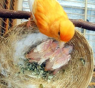 Manfaat Bawang Putih Bagi Burung Kenari Sebagai Pakan Tambahan