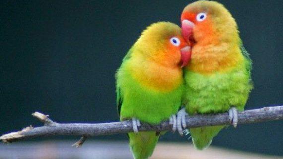 Cara Mudah Membuat Racikan Pakan Burung Lovebird Konslet