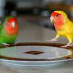 Rahasia Meracik Pakan Lovebird untuk Lomba agar Juara
