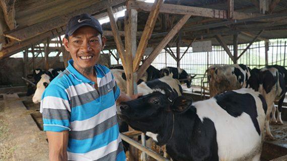 Menerapkan pemeliharaan sapi perah dengan sistem kandang kering untuk mengefisienkan waktu, tenaga, dan biaya produksi