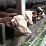 Tips Membeli Pakan Untuk Ternak Sapi