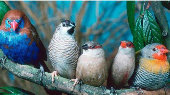 Jenis Burung Perkutut Dan Karakteristiknya