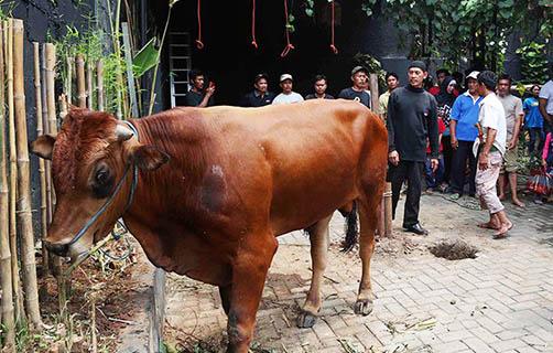 Mengenal Jenis-Jenis Sapi Asli Indonesia