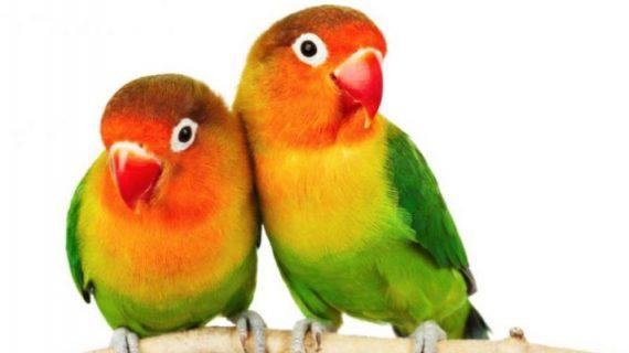 7 Penyakit yang Paling Banyak Dialami Love Bird, Pemilik Wajib Tahu!