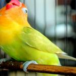 Pemberian pakan berprotein tinggi pada lovebird sebelum perkawinan