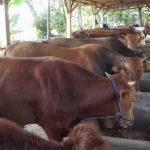 Pakan Ternak Sapi dari Pelepah Kelapa Sawit