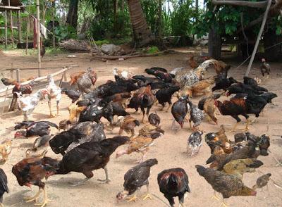 3 Macam Sistem Beternak Ayam Kampung