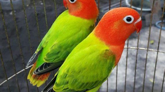 5 Cara Mudah Ternak Lovebird Dan Agar Cepat Bertelur Untuk Pemula