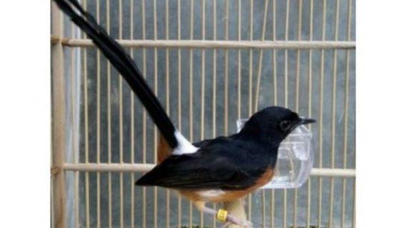 Pesona Murai Batu, Salah Satu Burung Kicau Termahal di Indonesia