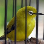 Cara Budidaya Ternak Burung Pleci Sukses dan Menjanjikan