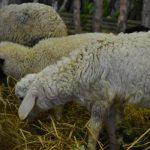 Tipe Domba yang Biasa Diternakkan