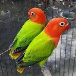 Ini 8 Cara Menjinakkan Burung Lovebird Paling Mudah