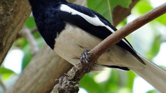 Gacor terus! Begini Cara Merawat Burung Kacer Bahan agar Rajin Bunyi